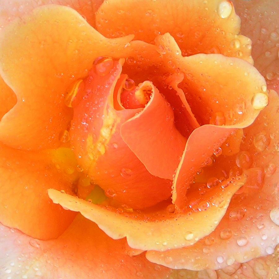 Orange Rose Photograph - Center Of Orange Rose by John Lautermilch