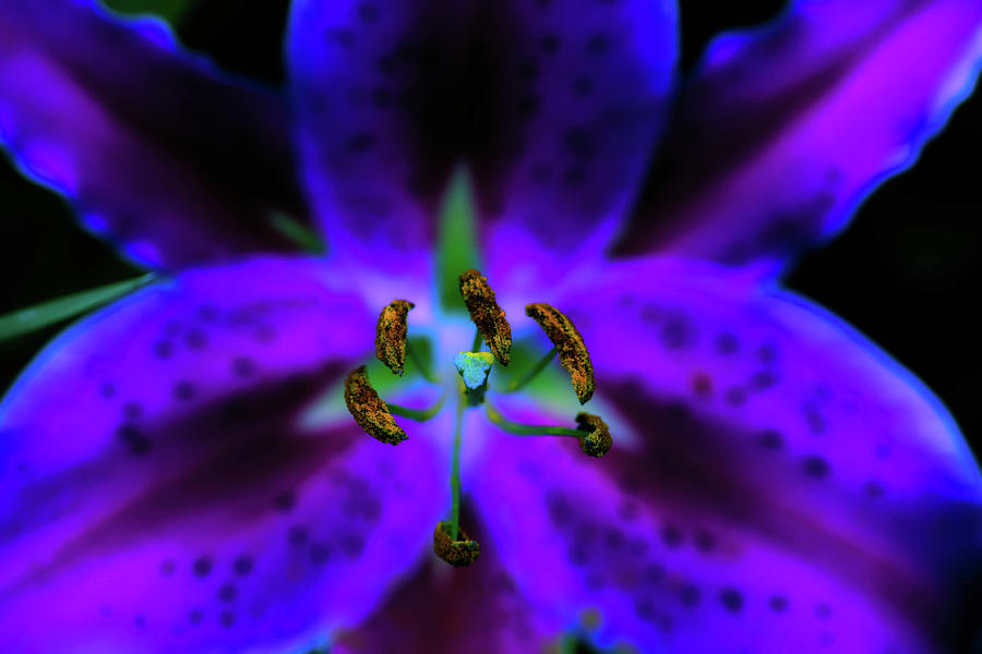 Lily Photograph - Center Of The Asiatic Lily by Sherman Perry