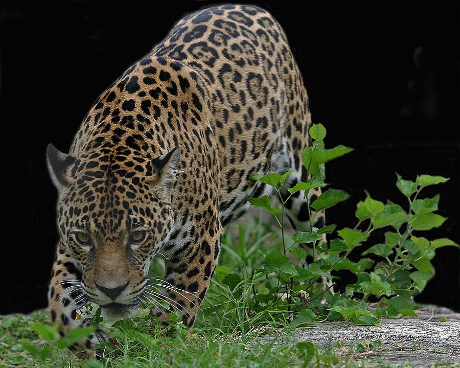Jaguar Photograph - Central American Jaguar by Larry Linton