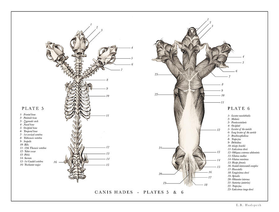 chihuahua anatomy diagram - 28 images - understanding the canine ...