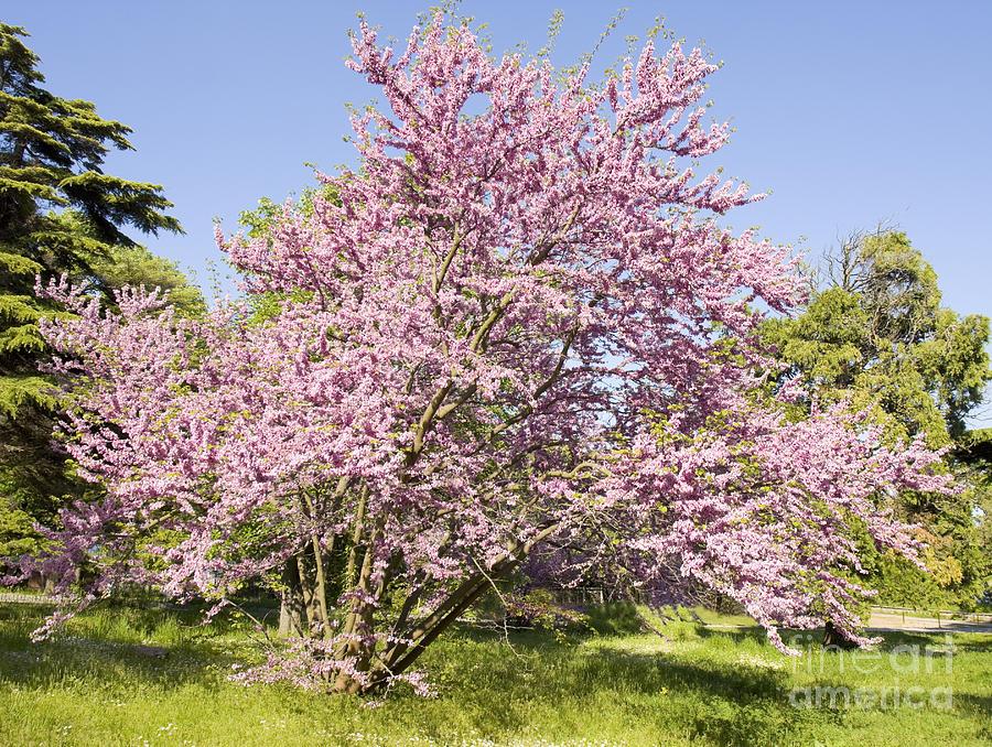 Cercis Tree Bulgaria Photograph By Irina Afonskaya
