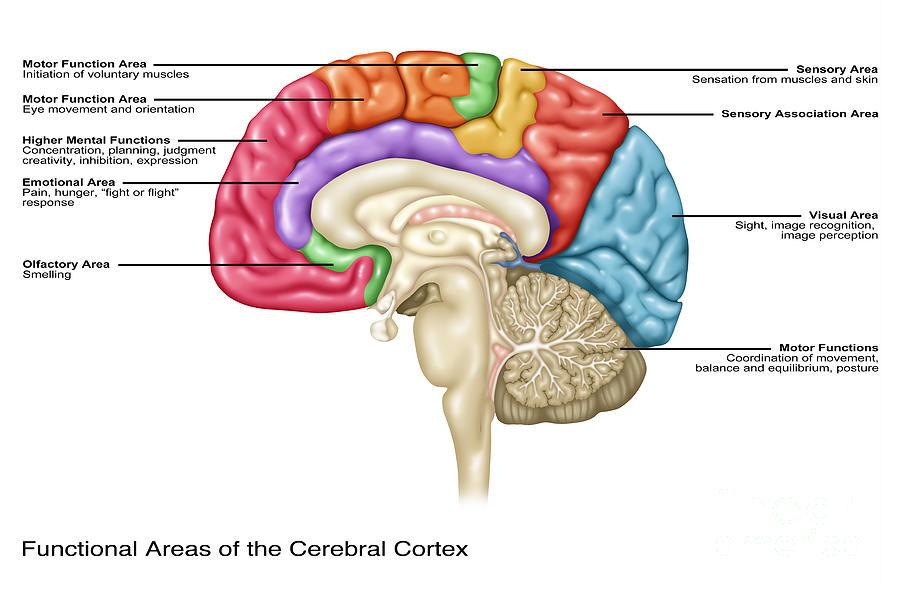 Cerebral Cortex Areas, Illustration Photograph by Gwen Shockey