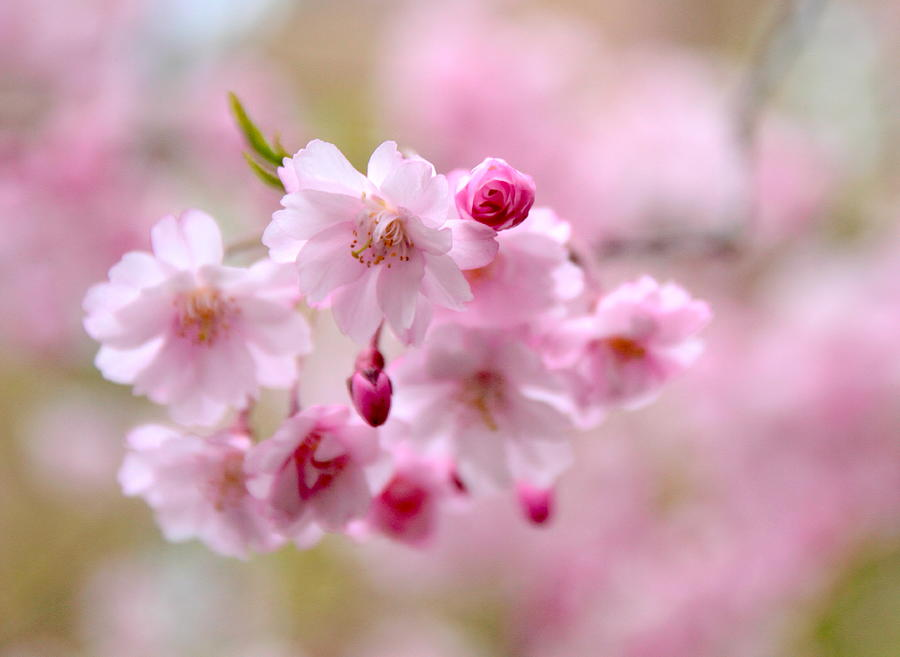 Cherry Blossoms Photograph - Cerise  by Jessica Jenney