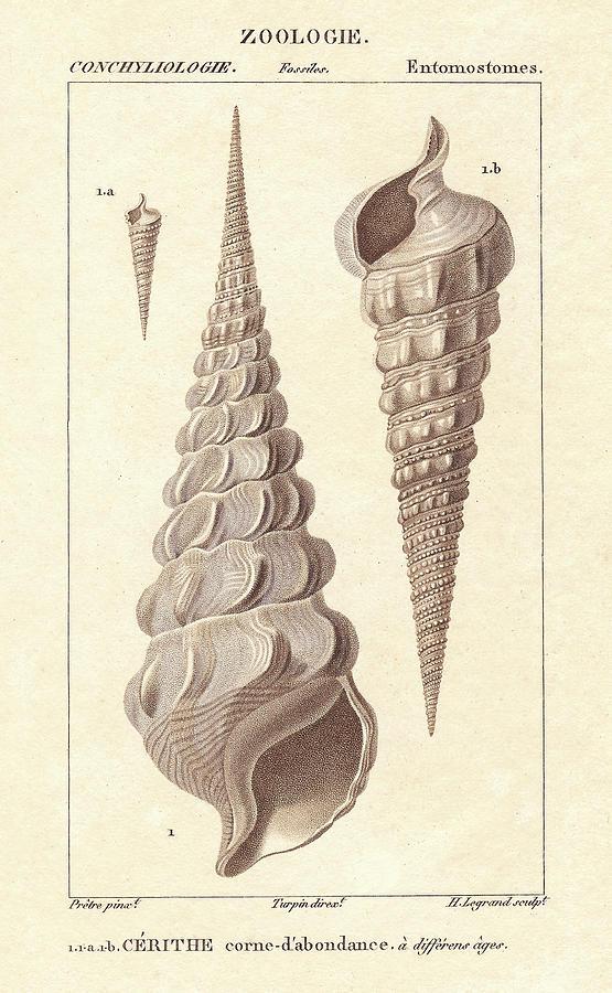 Cerith Seashells Drawing