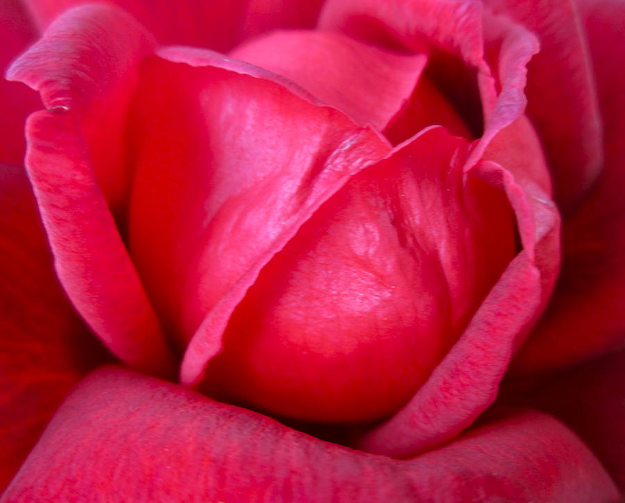 Photograph Of Rose Photograph - Chachacha by Gwyn Newcombe