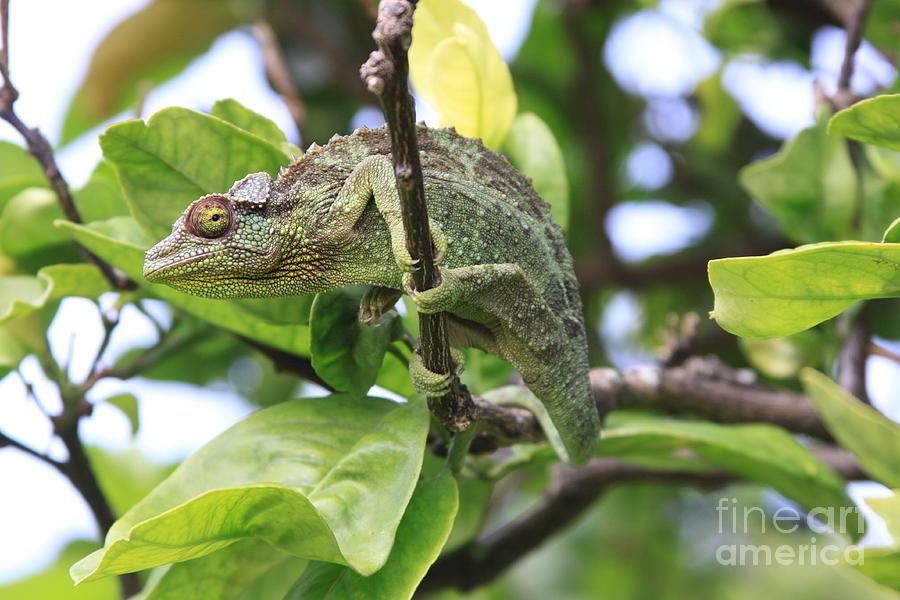 Chameleon On Branch Photograph