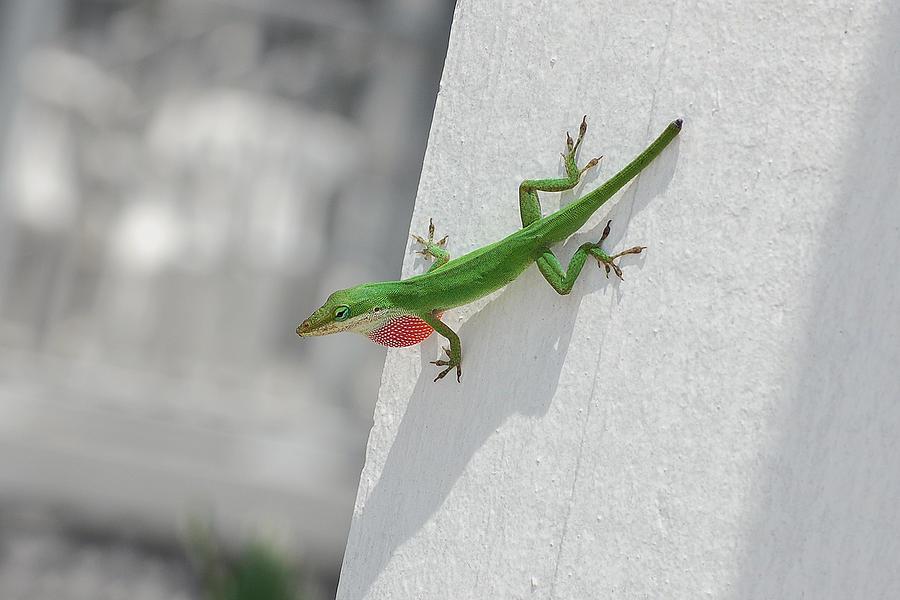 Chameleon Photograph - Chameleon by Robert Meanor