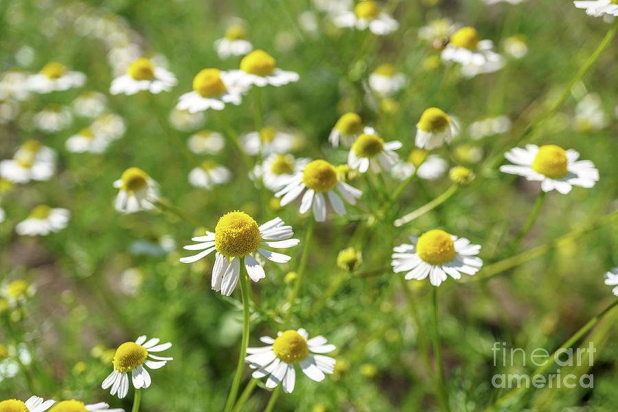 Chamomile In A Sunny Garden For Healthy Teas 2 Photograph by Valdis ...