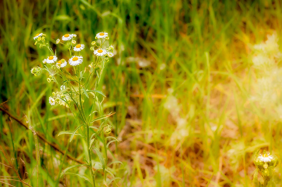 Background Photograph - Chamomile In The Sunny Meadow by Alain De Maximy