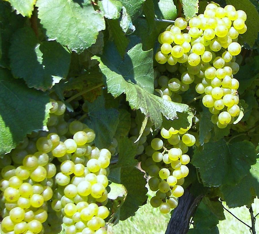 Grapes Photograph - Chardonay Grapes by D Steven Brito