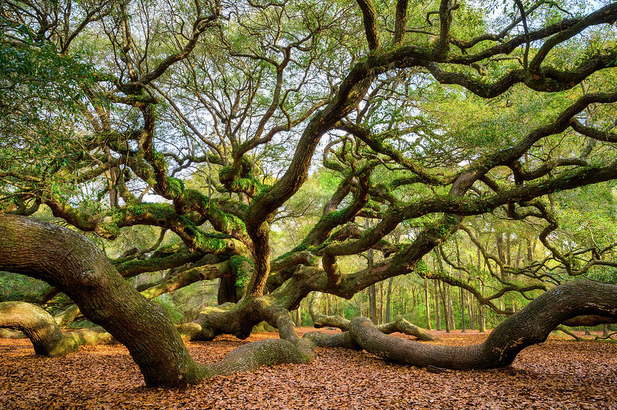 Charleston Sc Angel Oak Tree South Carolina Landscape