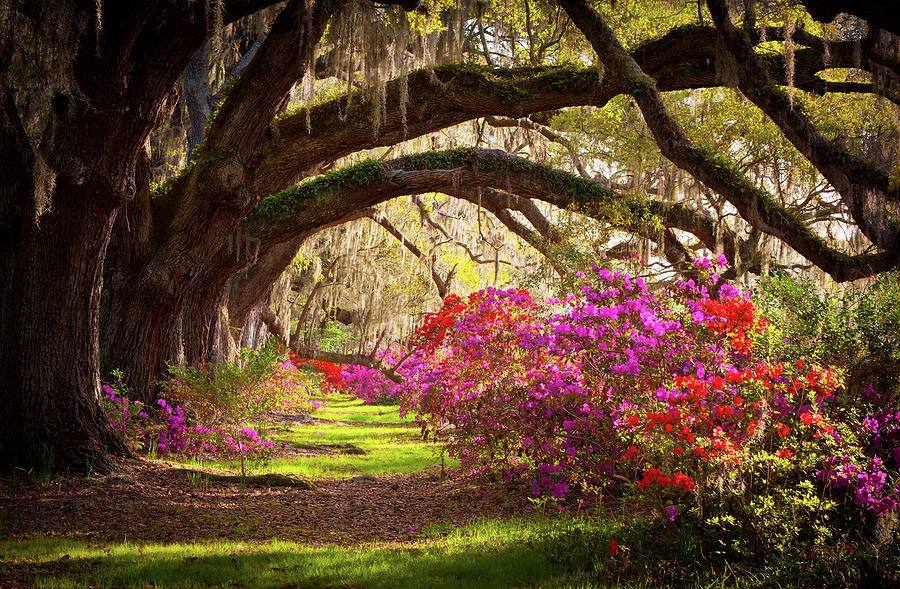 South Photograph - Charleston Sc Magnolia Plantation Gardens - Memory Lane by Dave Allen