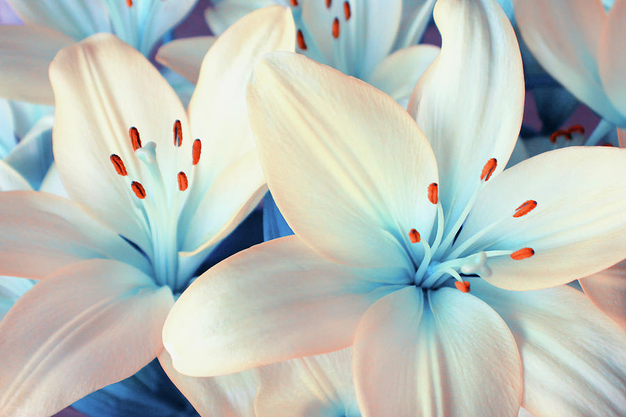 Lily Photograph - Charming Elegance by Iryna Goodall