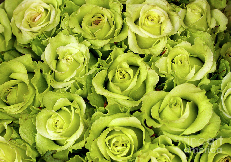 Green Color Photograph - Chartreuse Colored Roses by Bruce Block