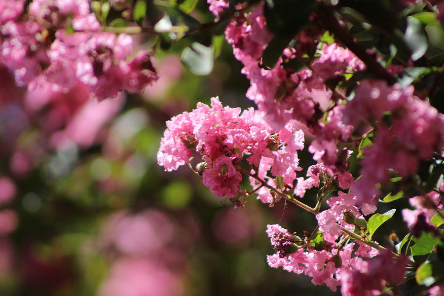 Pink Photograph - Chateau Rose Pink Flowering Crepe Myrtle  by Colleen Cornelius