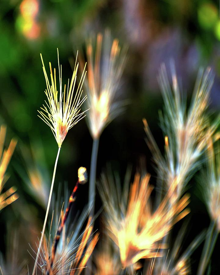 Cheat Grass Detail Photograph