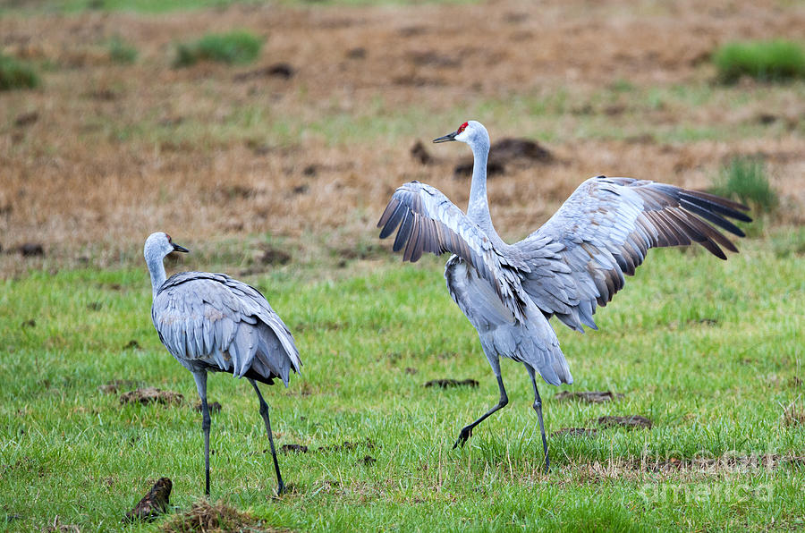 Sandhill Cranes Photograph - Check The Moves by Mike Dawson