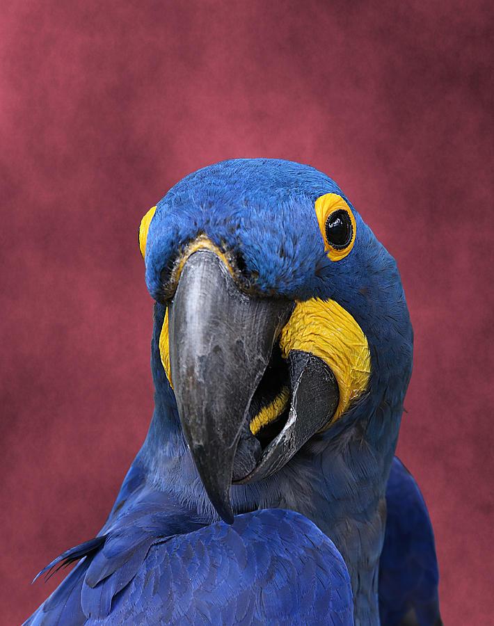 Hyacinth Macaw Photograph - Cheeky Macaw by Debi Dalio