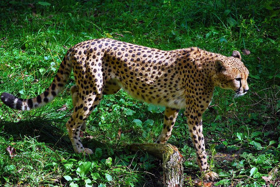 Life Photograph - Cheeta Girl by Michelle  BarlondSmith
