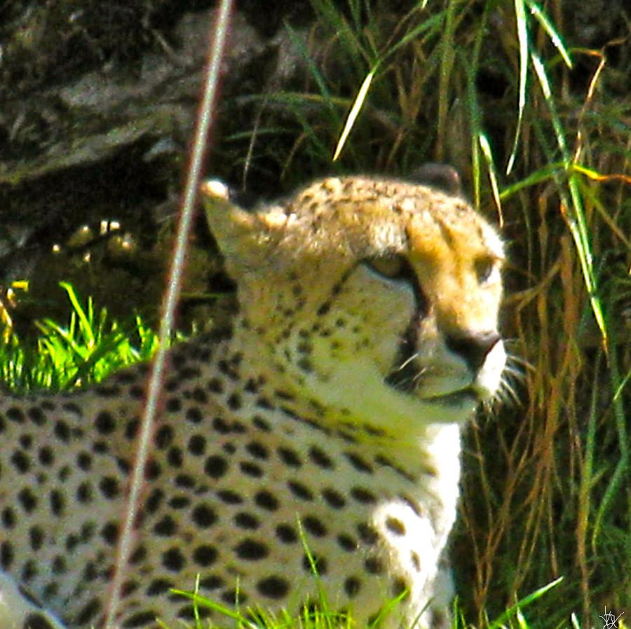 Cheetah On The Lookout Photograph - Cheetah   Face by Debra     Vatalaro