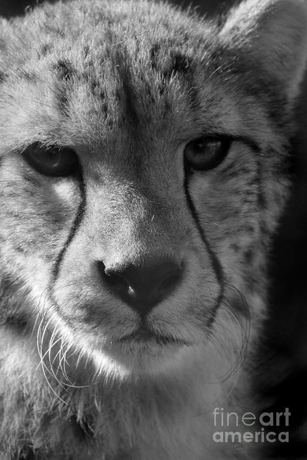 Cheetah Photograph - Cheetah Black And White by Karen Adams