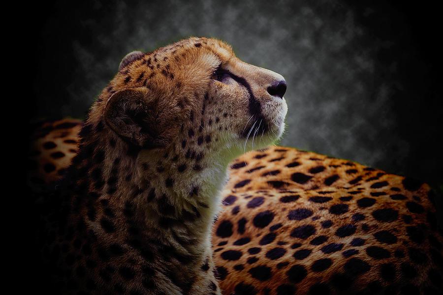Cheetah Photograph - Cheetah Closeup Portrait by David Gn