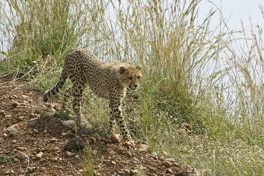 Africa Photograph - Cheetah Exploration by Michele Burgess
