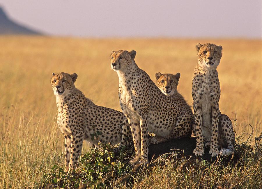 Africa Photograph - Cheetah Family by Johan Elzenga