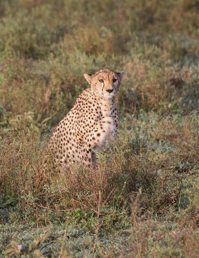 Cheetah Gaze by Brenda Smith DVM