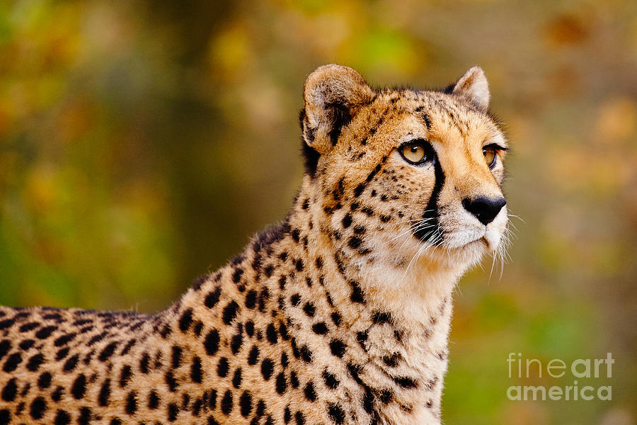 Cheetah In A Forest Photograph