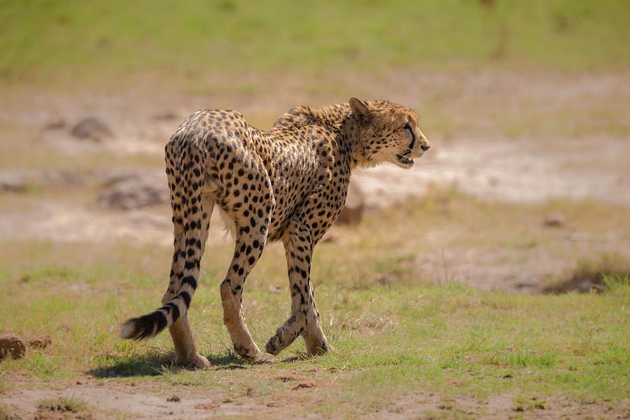 Cheetah by James Capo