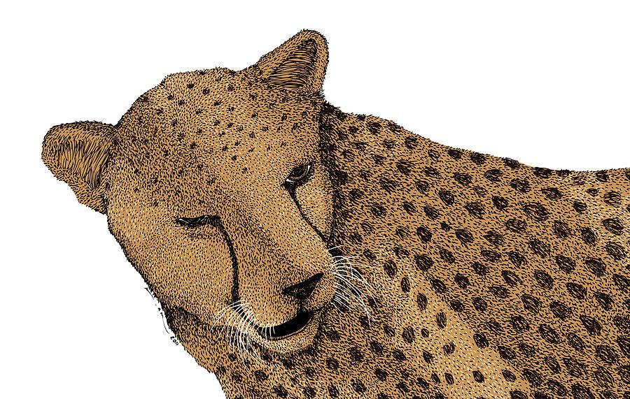 Drawing Drawing - Cheetah by Karl Addison