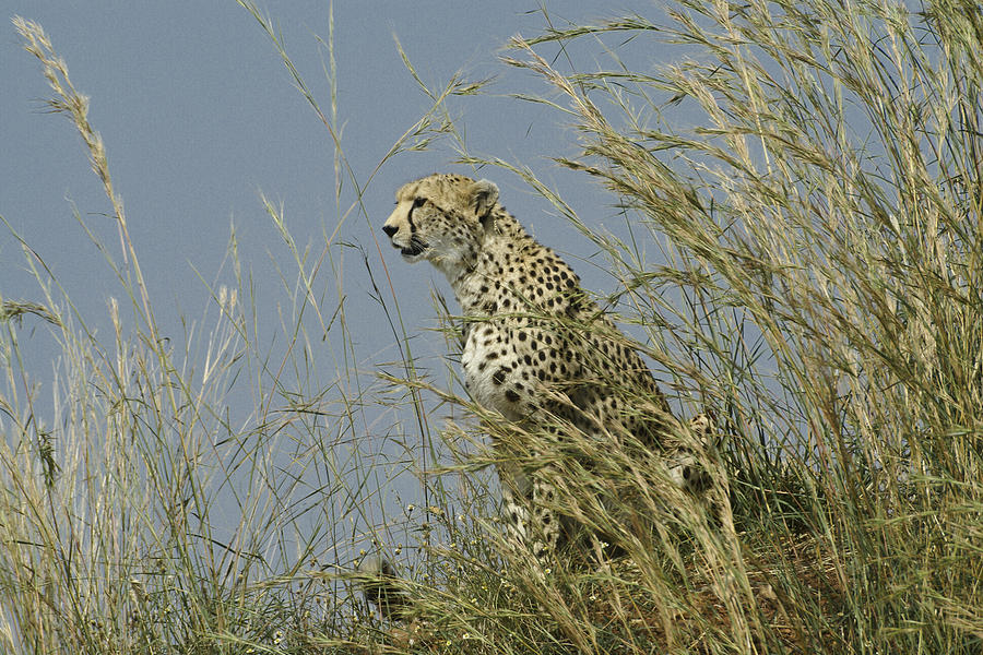 Africa Photograph - Cheetah Lookout by Michele Burgess