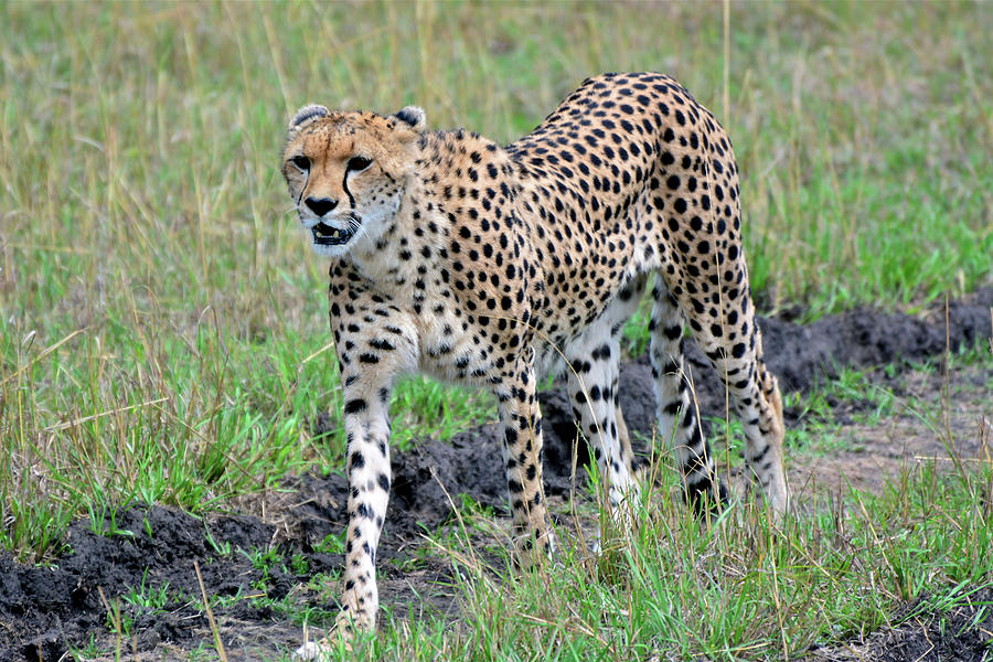 Cheetah on a Walkabout by Don Mercer