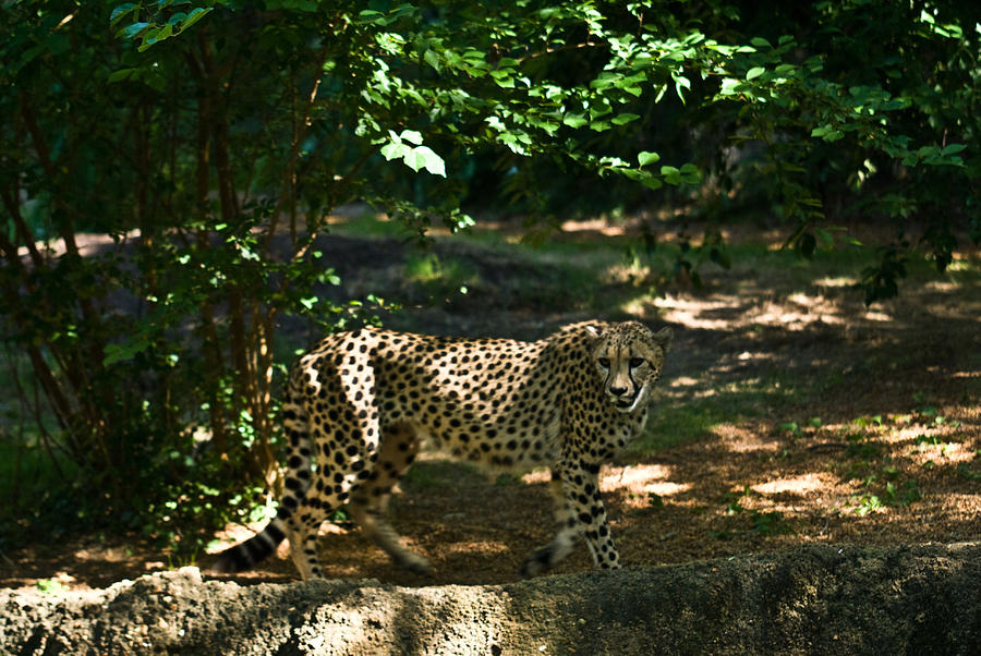 Cheetah Photograph - Cheetah On The In The Forest 2 by Douglas Barnett