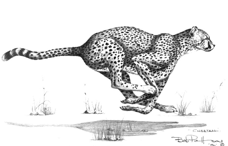 Wildlife Drawing - Cheetah On The Kill by Bob Patterson