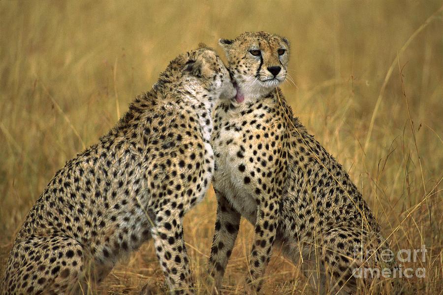 Cheetah Pair Grooming Photograph by GerryEllis