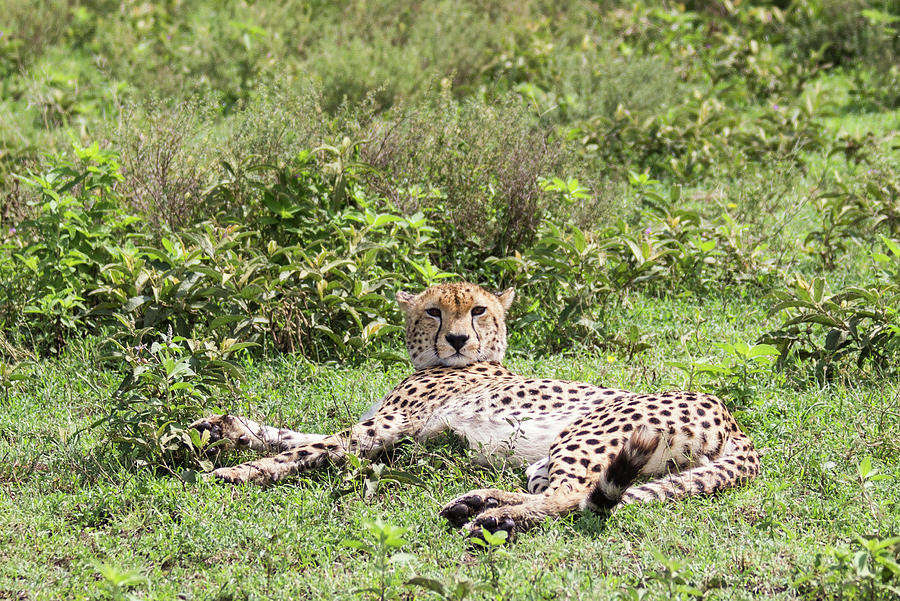 Cheetah Resting by Brenda Smith DVM