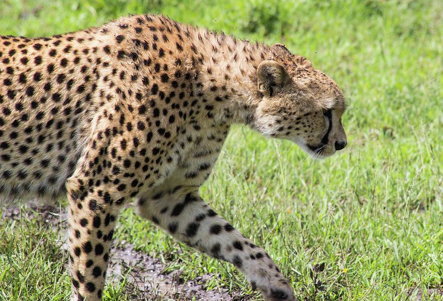 Cheetah Stalking by Brenda Smith DVM