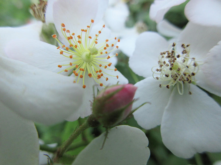 Cherokee Rose Photograph - Cherokee Rose Dover Nh  by Kimberly Vogel