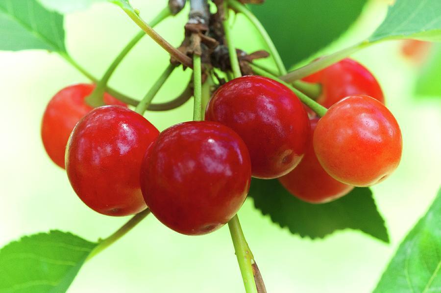 Cherries 01 by James Oppenheim