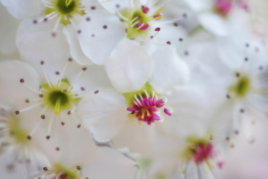 Cherry Blooms Photograph