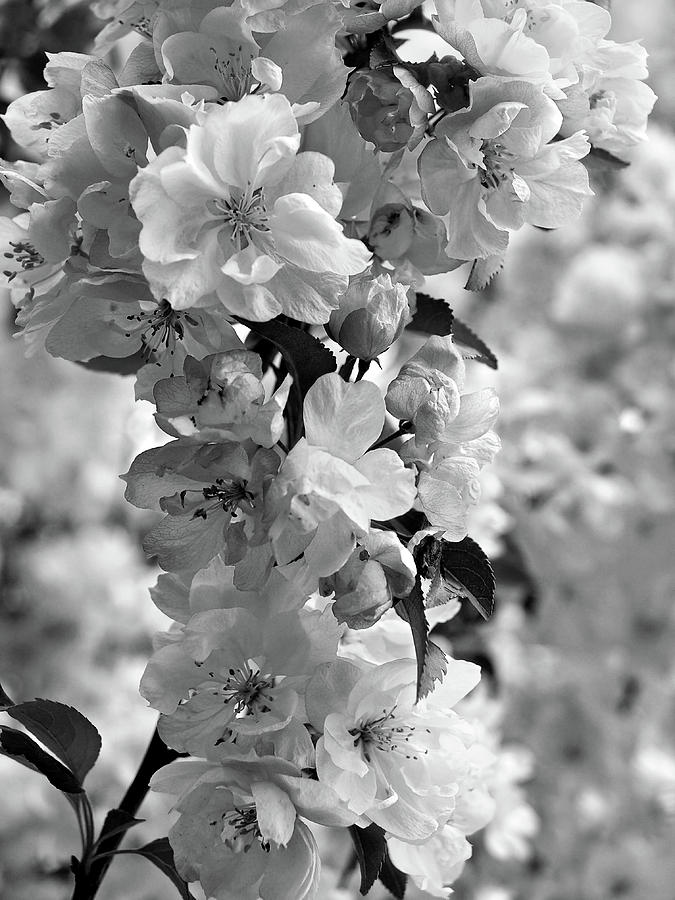 Cherry Blossom Black And White Vertical Photograph By Gill Billington
