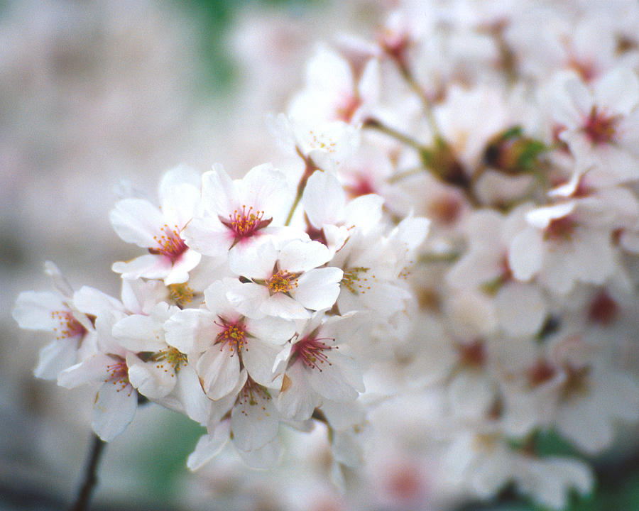Flowers Photograph - Cherry Blossom Close-up No. 6 by Karen Garvin