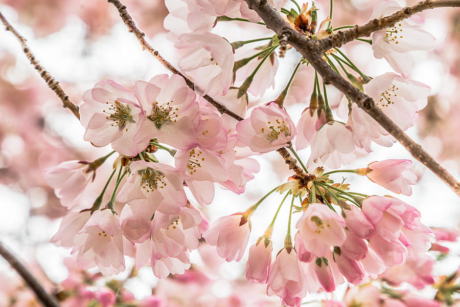Cherry Blossom Clusters by Karen Saunders