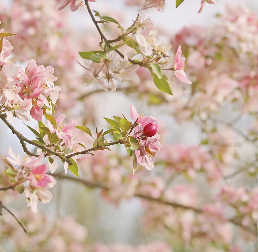 Cherry Blossom Photograph - Cherry Blossom Delight by Kim Hojnacki