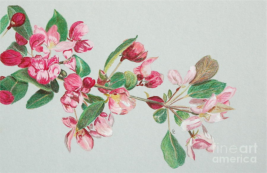 Color Drawing - Cherry Blossom by Glenda Zuckerman