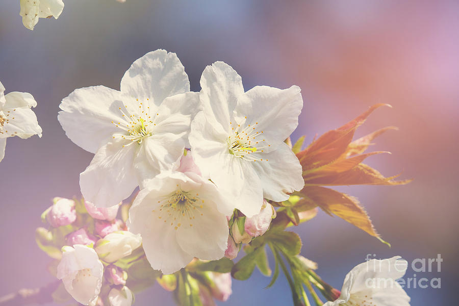 Cherry Photograph - Cherry Blossom In Sunlight by Jane Rix