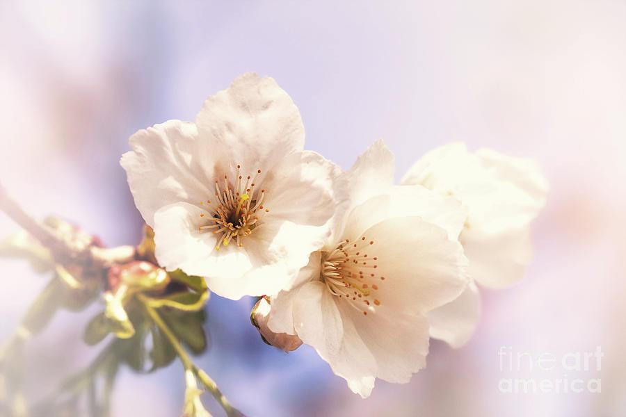 Cherry Photograph - Cherry Blossom by Jane Rix