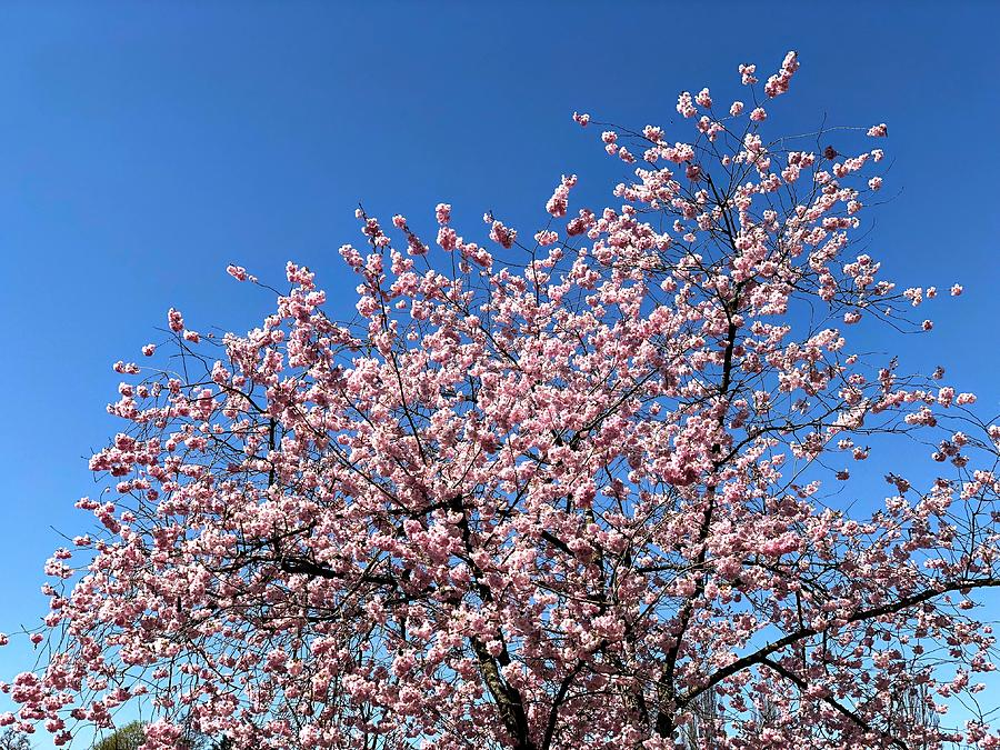 Spring Photograph - Cherry Blossom pink and blue spring colors by Matthias Hauser